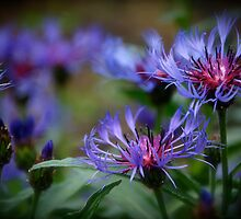 Cornflowers by Jeannette Sheehy