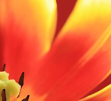 Vibrant Tulip 2 by RA-Photography