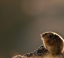Backlit Pika by Jay Ryser