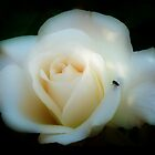 WHITE ROSE IN VIGNETTE ORTON by Johan  Nijenhuis