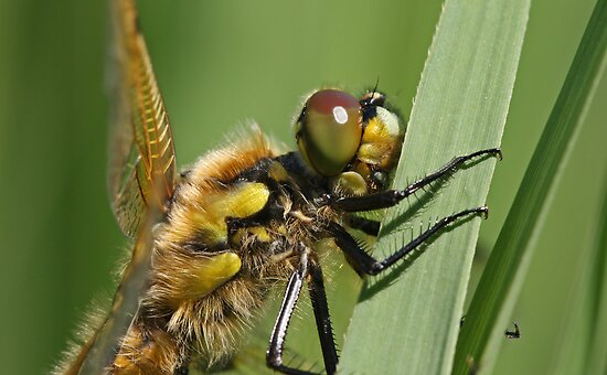 Hairy Bug by Robert Abraham