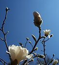 Welcoming Spring - Star Magnolia 2 by WalnutHill