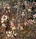 Welcoming Spring - crabapple by WalnutHill