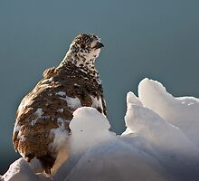 Rock Ptarmigan by Jay Ryser