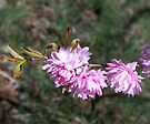 Welcoming Spring - Flowering Almond 2 by WalnutHill