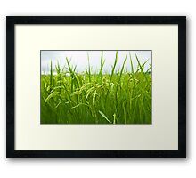 Rice field Framed Print