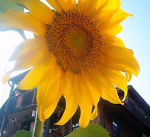 Sunflower by elajanus
