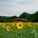 Sunflowers, Tarn Region, southern France by wilderpisces