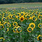 Going against the tide, sunflowers, Tarn Region, South France by wilderpisces