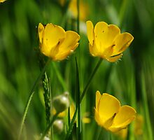 Buttercups by Simon Pattinson
