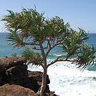 Pandanus Tree, Tweed Heads by Corrie Wharton