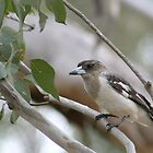 Australian - Butcher Bird by Veilstreasures