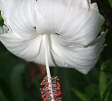White Hibiscus by Rainy
