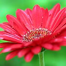 Red Daisy II by MDossat