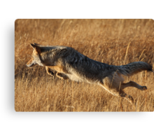 Coyote Action Canvas Print