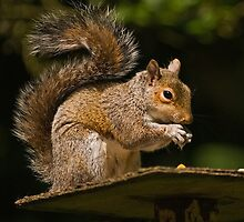 Grey Squirrel by Steve  Liptrot