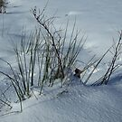Snow and Reeds 1  by dOlier