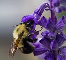 Bumble bee doing lunch by Sven Brogren