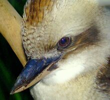 Kookaburra VIII by Tom Newman