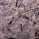 Sakura,cherry tree by komashyaru