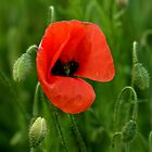 Summer Poppy by ©FoxfireGallery / FloorOne Photography