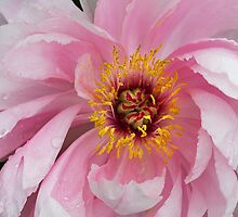 Peonie In Pink by Deborah  Benoit