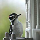 Downy Woodpecker by Crystal Zacharias