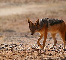 Black Back Jackal, Nambia, Africa by MacLeod