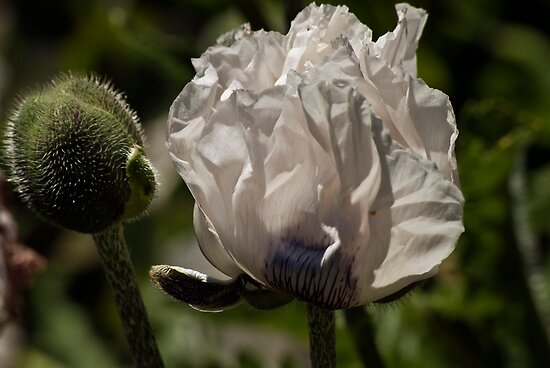 White Poppy by LudaNayvelt