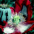 Opium poppy macro by John Spies