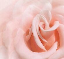 Pink Rose by Hope Ledebur