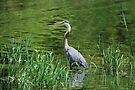 Patient Fisher - Gr  Blue Heron by Lynda  McDonald