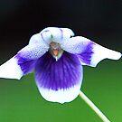 Blue & White Violet by Bev Pascoe
