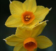 Daffodils, Mount Lofty Botanic Gardens by Leigh Penfold