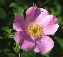 Ode to a Wild Rose by lorilee
