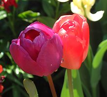 Tulips by Dennis Brown