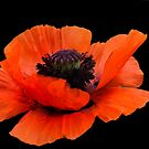 Poppy by Jamie Lee