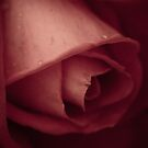 Raindrops on Roses by Kory Trapane