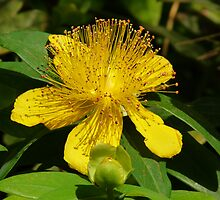 Yellow beauty (Hypericum) by presbi