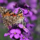 Painted Lady by Krys Bailey