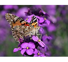 Painted Lady Photographic Print