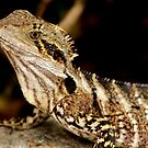 Physignathus lesueurii lesueurii (Eastern Water Dragon)  by Normf