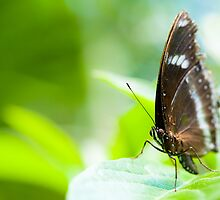 orchard swallowtail butterfly by peterwey