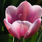 Pink Tulip by ienemien