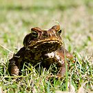 cane toad 1 by shaun965