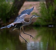 0605092 Juvenile Blue Heron by Marvin Collins
