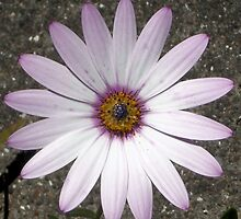 Dimorphotheca-annua. African Daisy (photo) by Woodie