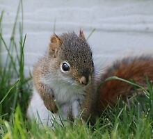 Red Squirrel Baby  by Lynda   McDonald