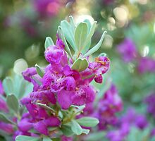 Texas Sage Full Bloom by BonnieColeman