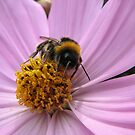 Bumble-bee in action by Hans Bax